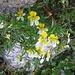 Viola cornuta, Violaceae