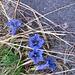 Gentiana acaulis, Gentianaceae.