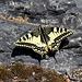 Bořeň - Wie schon bei vergangenen Touren im České středohoří treffen wir auch heute wieder auf zahlreiche Schwalbenschwänze (Papilio machaon), wie hier, südlich unterhalb des Gipfels.
