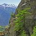 Suone pur: Felswand, aufgehängter Kännel, frische Lärchennadeln....