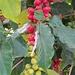 Kaffee, eine einsame Pflanze