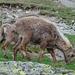 Bei der Glecksteinhütte können Steinböcke auf nächster Distanz beobachtet werden. Die stolzen Stiere werden mit Salz angelockt.