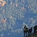 Gemsen hoch über dem Ammergau