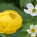 Trollblume und Eisenhutblättriger Hahnenfuss