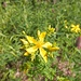 Herbe de la Saint-Jean... plante médicinale connue