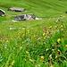 Bei Oberstofel: Blumenwiese und noch verlassene Alphütten.