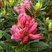 Primi rododendri della stagione.