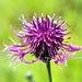 Eine  Bergflockenblume mit Besuch