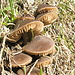 Gruppetto di funghi d'alta quota (oltre i 2000 m)