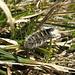 Qui ci vorrebbe un entomologo: questo insetto peloso si sposta non avanti né indietro, ma lateralmente, destando la mia sorpresa
