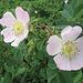 Fiori di rosa canina