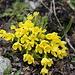 Androsace vitaliana  Gärsthorn Südflanke auf ca. 2400m  Herzlichen Dank an  [u pizflora] für das Bestimmen!
