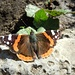 Ein Schmetterling präsentiert sich. Bin mir allerdings über die genaue Bestimmung unsicher...