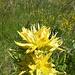 Gentianes jaune