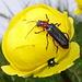 Gipfelkäfer auf Trollblume: Ein Weichkäfer... ups, da versteckt sich noch ein anderer Käfer anderer Art unter ihm...