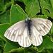 Ein hübscher Schmetterling im grasigen Gelände zwischen den Stöllen und dem Nordostgrat zum Lütispitz.