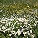 <b>Spettacolare fioritura nella Unteralp Tal.</b>