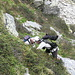 [u Jules] aiuta [u SaBo] a superare un passaggio impegnativo (nascosto al di sotto dei rododendri)