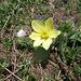 Pulsatilla alpina, Ranunculaceae