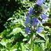 Gewöhnlicher Natternkopf, auch Blauer Natternkopf (<i>Echium vulgare</i> L.)