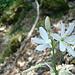 Traubige Graslilie, auch Astlose Graslilie (<i>Anthericum liliago</i> L.)