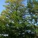 Die anspruchslose Robinie kommt mit den nährstoffarmen, sandigen Böden bestens zurecht und ist entsprechend oft anzutreffen.