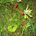 fruchtender Seidelbast