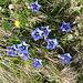 Hier blühen die Blumen schon! Schöne Enzianen!