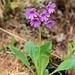 Primula...<br />... wohl eines der Sektion Auricula, aber welche Art?