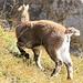 Baby ibex (pooping)