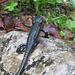 Ein Bergmandl (Alpensalamander). Die an Land tollpatschig wirkenden Lurche sind in der Regel nur bei feuchtem Wetter anzutreffen, dann aber oft auch direkt auf den Wanderwegen.