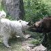 Incredibile la perseveranza di qs. cane pastore nell'imporre al caprone la sua volonta', addentandoLo per le lunghe corna.