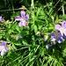 Alpenblumen im Kelmer Kar