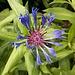 Die Berg-Flockenblume (<i>Centaurea montana</i> L.) begnügt sich wohl auch mit den Hügeln der Eifel.