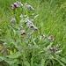 """unbekannt auch dieses Gewächs - nun, dank [u Kopfsalat] bekannt: solenanthus apenninus ... oder eher vielleicht die """"Gewöhnliche Hundszunge (Cynoglossum officinale)"""