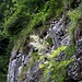 An der Felswand ein Wald-Geißbart