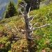 knorriges Gewächs inmitten von Alpenrosen