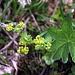 Blüte eines Frauenmantels