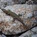 Tyrrhenische Gebirgseidechse (Archaeolacerta bedriagae)