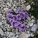 Doldentraubiges Täschelkraut (Thlaspi rotundifolia).<br /><br />Bin aber nicht 100% sicher ob es diese Art ist, vielleicht kann mir ein HIKR die Spezies bestätigen.