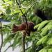 Eichhörnchen fertig zum Sprung