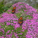 Schmetterlinge  auf  Polsternelken