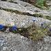 eine Felsspalte dekorativ gefüllt mit Frühlings-Enzianen