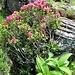 blühende Alpenrosen - und Germer im Wachstum