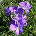 Bellissime viole