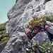 und überall Alpenrosen