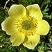 Schwefelanemone (Gelbe Alpen-Kuhschelle) Pulsatilla alpina subsp. apiifolia