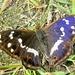 Der seltene Schillerfalter - Derselbe Schmetterling wie auf dem vorigen Bild. Je nach Lichteinfall beginnt er tatsächlich zu schillern und zu leuchten !