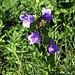Glockenblumen am Wegrand