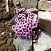 immer wieder wachsen Blumen zwischen den hellen Steinen